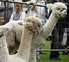Alpacas at Bingley Show 2010