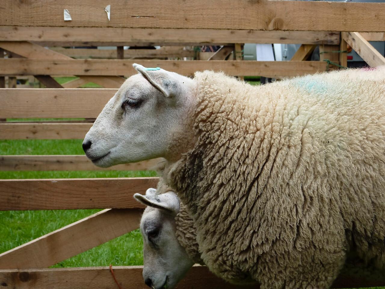 Sheep at Bingley Show 2010
