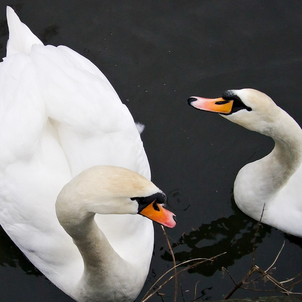 Two swans on the canal at Riddlesden in icy water