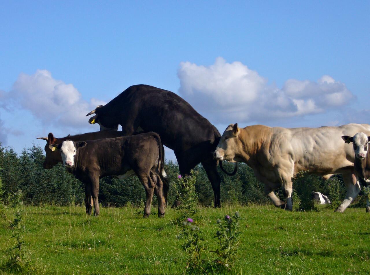 Cows having fun near Riddlesden...