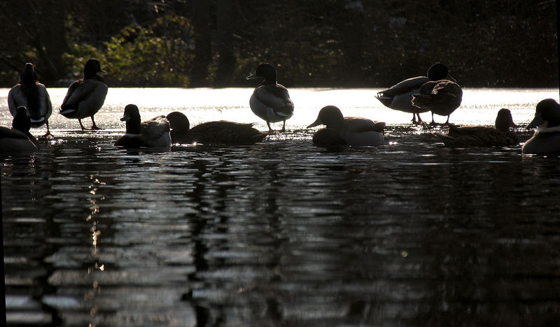 Ducks at East riddlesden Hall, Keighley.
