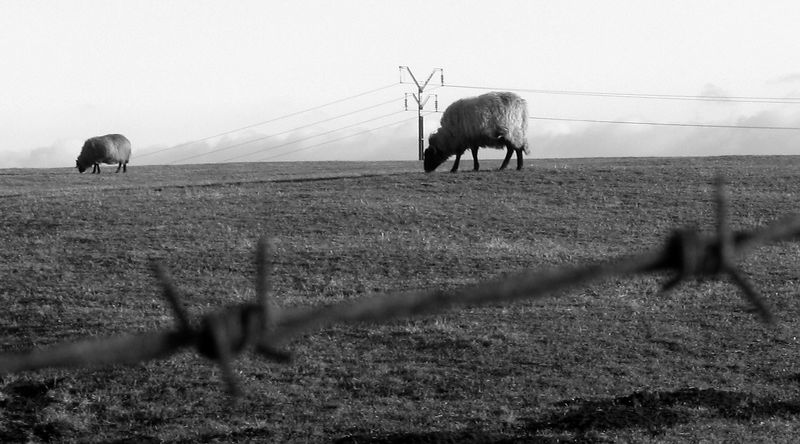 Sheep and wires