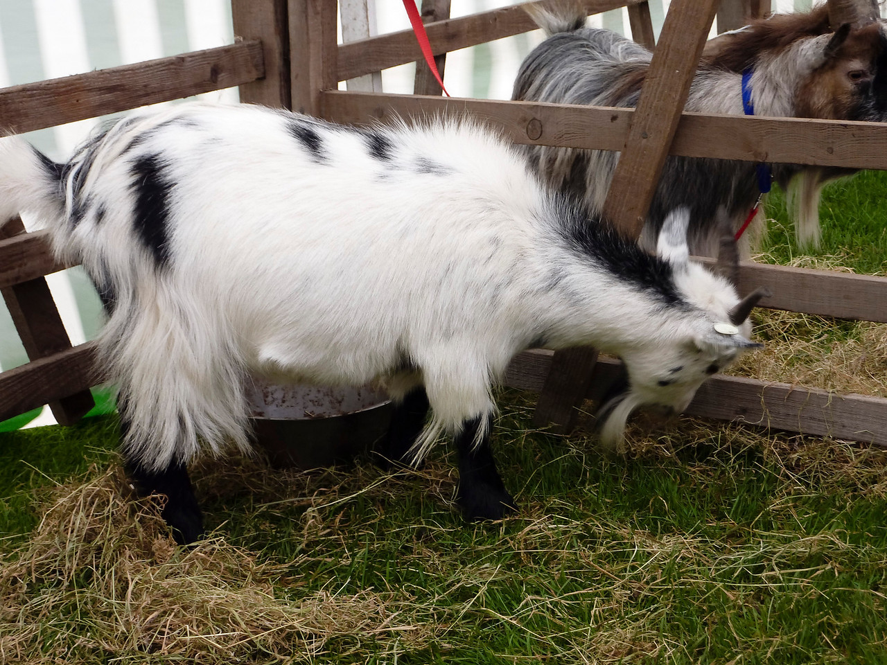 In the pygmy-goat tent