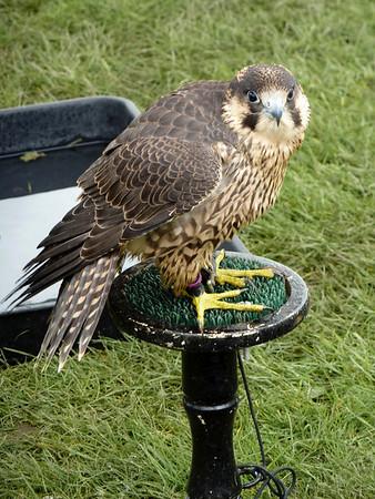 Bird of prey display