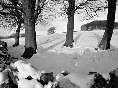 Trees and snow monochrome