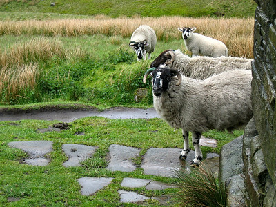 Sheep lie in wait for leftovers at top Withins