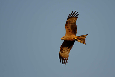 A relatively common species, the Black Kite (Milvus migrans).