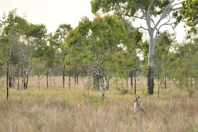 One of the resident population of Eastern Grey Kangaroos that lives near the channel.