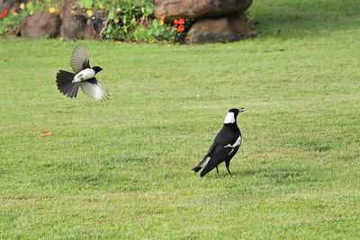 A wagtail dive-bombing a common Australian Magpie (Gymnorhina tibicen).
