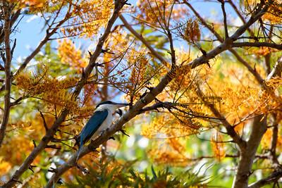A Sacred Kingfisher (Todiramphus sanctus).