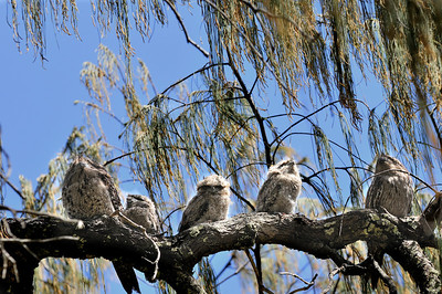 A family of Tawny Frogmouths, not actually owls, (Podargus strigoides) perched companionably in a coastal she-oak. These are nocturnal birds, but no one has told the three fluffy chicks in the middle that yet. The adults sit still, trying to resemble a dead branch stump, but the chicks bounce around and watch all the people below.