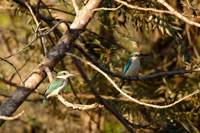 A pair of Sacred Kingfisher (Todiramphus sanctus).