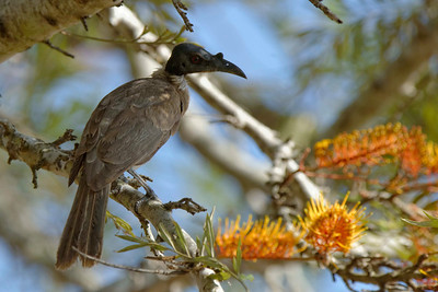 A Noisy Friarbird (Philemon cornicularis) illustrating the hole right through its beak.