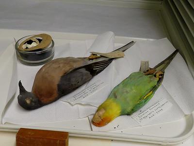 Passenger Pigeon and Carolina Parakeet