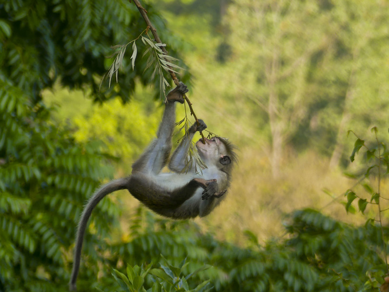 Toque Macaque young one- acrobat