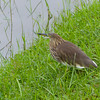 Indian Pond Heron - many were around