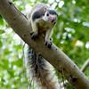 Giant Squirrel - many were around