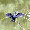Little Cormorant drying its wings
