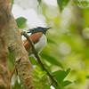 Asian Pardise Flycatcher (juvenile male?)