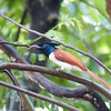 Asian Paradise Flycatcher with aN insect in its beak - Is it  a juvenile male?