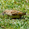House Sparrow with a catch. <br /> Few birds around in the garden - sparrows, common mynas, some wagtails, a shrike, two great tits and a brahminy kite with fledglings circling around.
