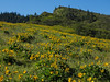 Tom McCall Preserve--Balsamroot in profusion