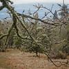 Ice on oak tree near Catherine Creek