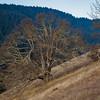 Oak tree on the slopes above Catherine Creek