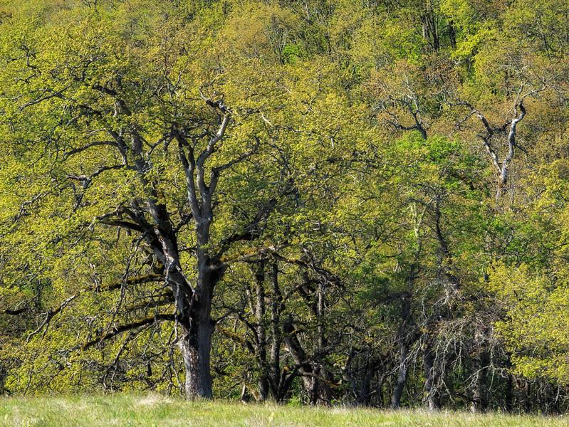 Oak forest near Catherine Creek