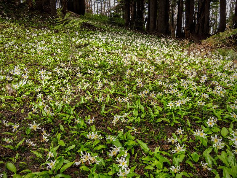 Lilies along Vista Ridge trail