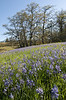 A meadow full of camas flowers near Catherine Creek
