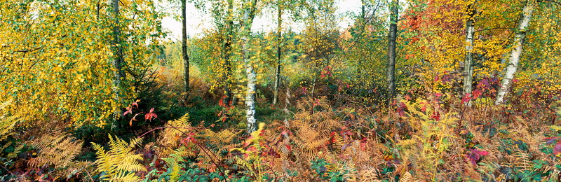 Colorful birch forest in autumn