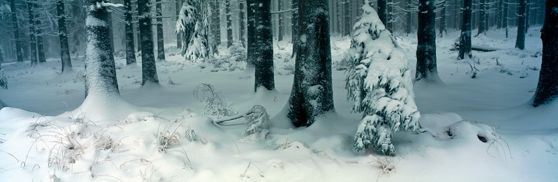 Spruces covered with frost and snow