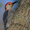 Red=Bellied Woodpecker
