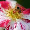 mini rose and bee