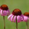 Purple Coneflowers