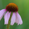 single purple coneflower