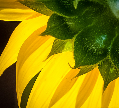 McKee Breshers Sunflowers