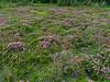 Meadow flowers along Vista Ridge
