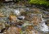 American Dipper in Cove Creek