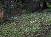 Avalanche Lilies along the Vista Ridge Trail
