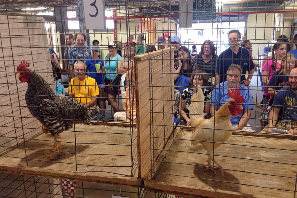 . Fairgoers look on as rooster take part in the Rooster Crowing contest qualifiers in the Poultry Building at the New York State Fair in Geddes on Sunday, August 31, 2014.(Photos by JOHN HAEGER- NYS Fair)