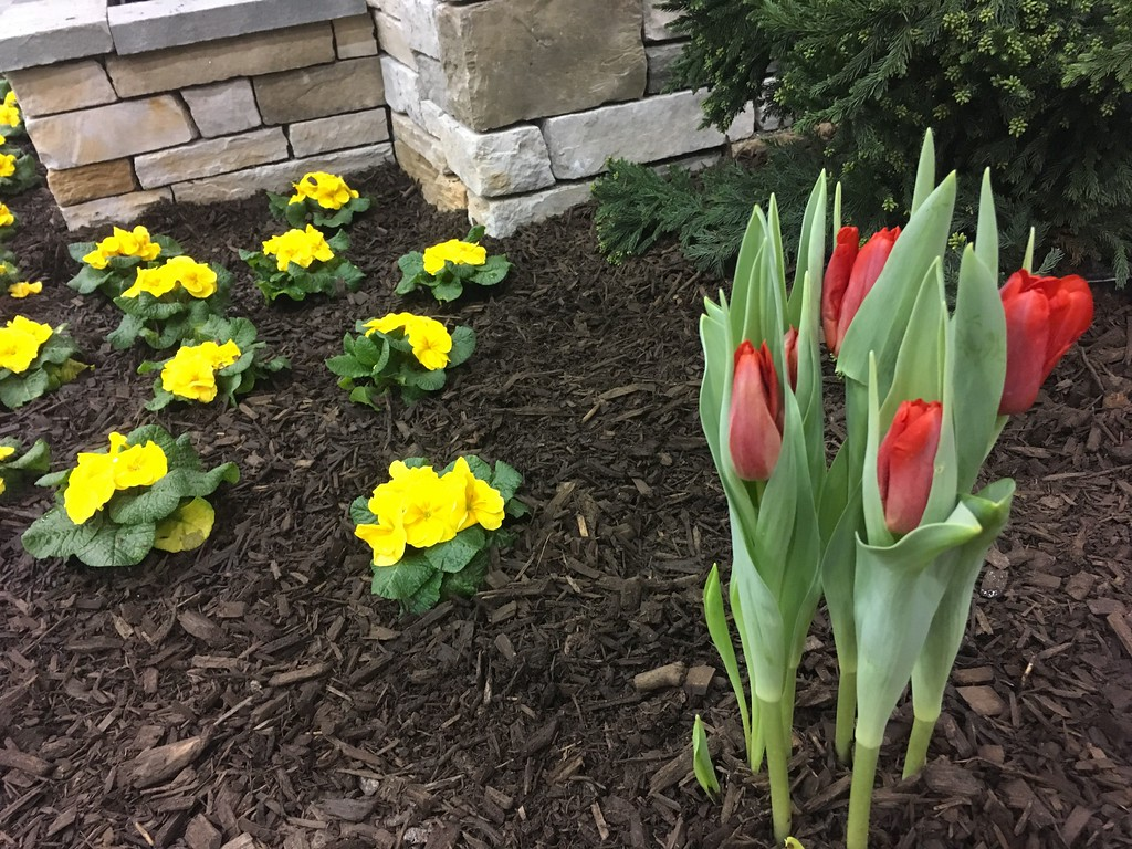 . Primrose and tulips in the Cornerstone Landscaping Inc. display.