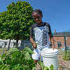 "Eric Bonzar—The Morning Journal<br /> Twelve-year-old Chrissy Castro picks snap beans  from the Boys and Girls Clubs of Lorain County Westview Terrace Unit's ""Grow With Me"" garden, July, 27, 2016."