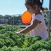 "Eric Bonzar—The Morning Journal<br /> Three-year-old Evalina Chavez waters vegetables in the Boys and Girls Clubs of Lorain County Westview Terrace Unit's ""Grow With Me"" garden, July, 27, 2016."
