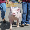 Eric Bonzar—The Morning Journal<br /> Chunky the pig struts its stuff down one of the walkways at the Lorain County Fair, Aug. 26, 2016.