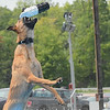 """Eric Bonzar—The Morning Journal<br /> Belgian Malinois """"Elektra"""" snatches her toy out of mid-air during a DockDogs practice run, at the Lorain County Fair, Aug. 26, 2016."""