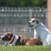 Eric Bonzar—The Morning Journal<br /> A pair of trainee dogs soak up the sun while sitting on the lawn of the yard of Grafton Correctional Institution, Sept. 15, 2016.