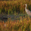 Eric Bonzar—The Morning Journal<br /> A sandhill crane wades in the marsh of Sandy Ridge Reservation, Oct. 23, 2016.