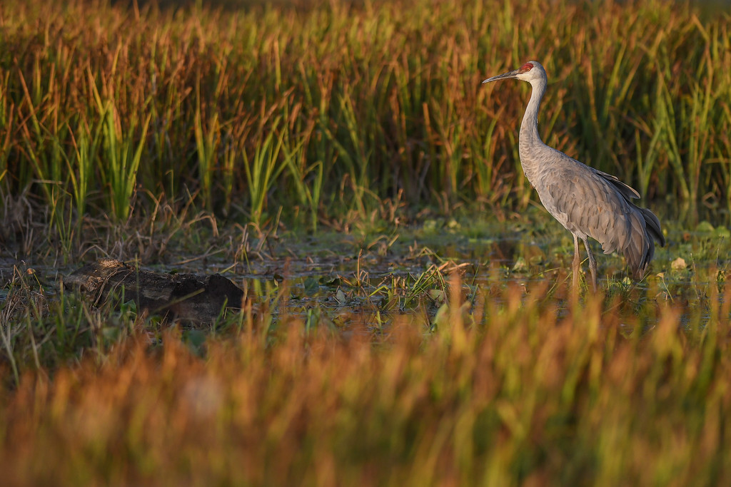 . Eric Bonzar�The Morning Journal A sandhill crane wades in the marsh of Sandy Ridge Reservation, Oct. 23, 2016.